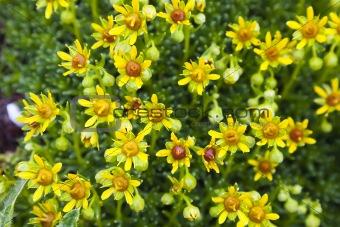 Beautiful yellow flowers in Julian Alps (Saxifraga aizoides)
