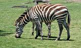Zebra eating grass on a green field
