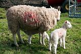 new born lamb and mother