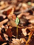 Beech seedling