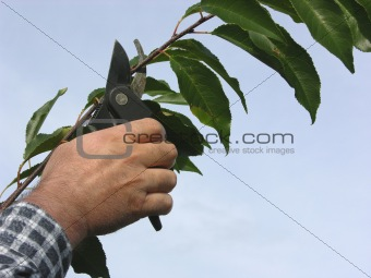 Cutout of a hand with secateurs cutting branch