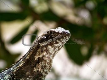 Curly Tailed Iguana