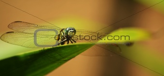 Dragon Fly Close Up