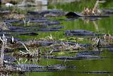 Alligator Gathering