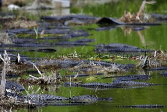 Alligator Gathering