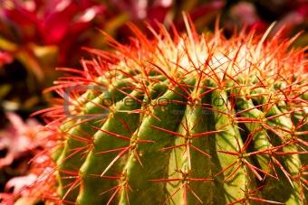 Cactus thorns
