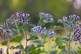 Bur Plant