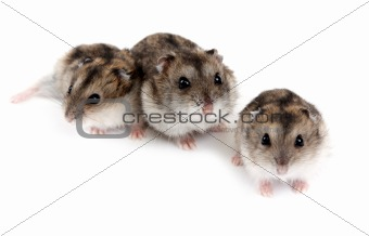 Three hamsters