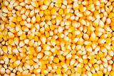 Closeup of dried maise corn