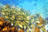 Caribbean reef Grunt fish school Mayan Riviera