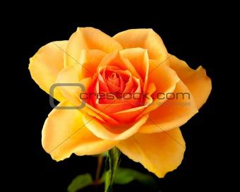 single orange rose isolated on black