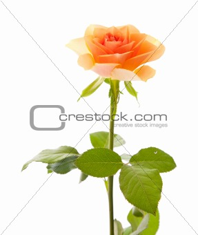 single orange rose isolated on white
