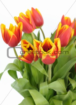 beautiful red tulips closeup on white background