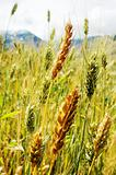 Tibetan wheat