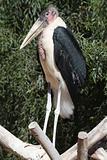 Marabou (Leptoptilos crumeniferus)