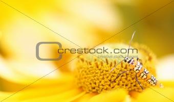 Ailanthus Webworm Moth (Atteva aurea)