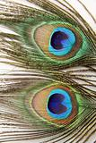 Two peacock feathers on white background