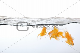 small group of goldfish