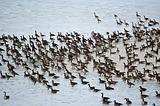 Canada Geese on an Icy Pond