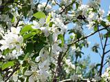 Apple tree and bee