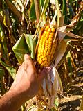 Farmer harvesting corn