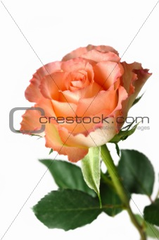 Beautiful pink rose flower isolated over white background