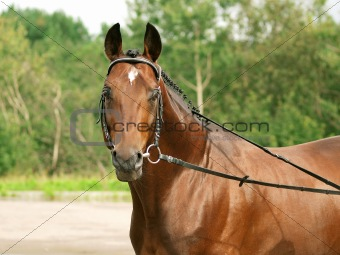 portrait of trakehner  stallion