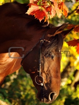 autumn portrait of bay horse