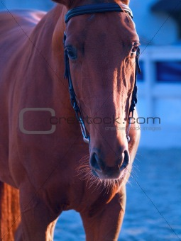portrait of red horse in twilight