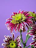 Beautiful purple flower over light violet background