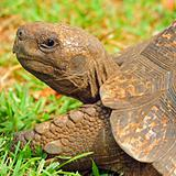 Portrait of a large tortoise