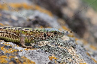gray lizard (lacerta agilis)