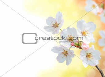 beautiful apricot spring blossom branch
