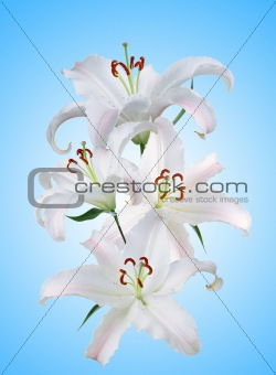 beautiful white lily over blue background
