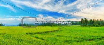 Paddy rice panorama