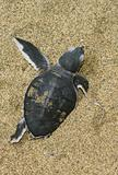 turtle give birth