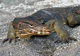 Large monitor lizard on the sand