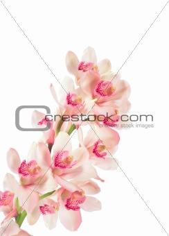 branch of orchid isolated on white