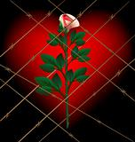 rose and lattice