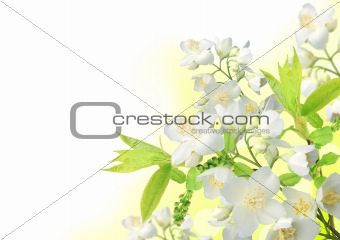 Beautiful spring Jasmine blossom border