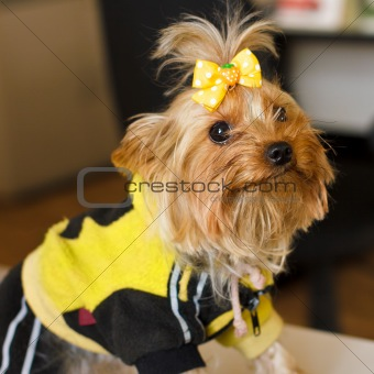 closeup portrait of a dog Yorkshire terrier