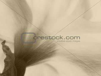 Classic sepia toned soft focus filter daffodil macro giving love