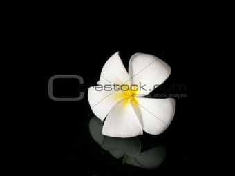 A single white plumeria flower
