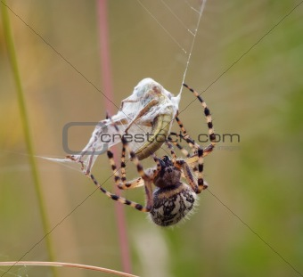 hunter - hunting spider