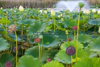Lily Pond