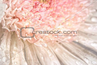 Pink chrysanthemum with antique distress