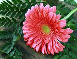 Pink Gerbera with green leaves on a wooden board