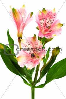 Beautiful pink alstroemeria