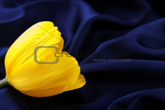 bright yellow tulip on a silk background