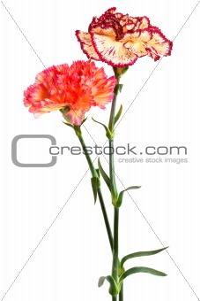 fresh carnation